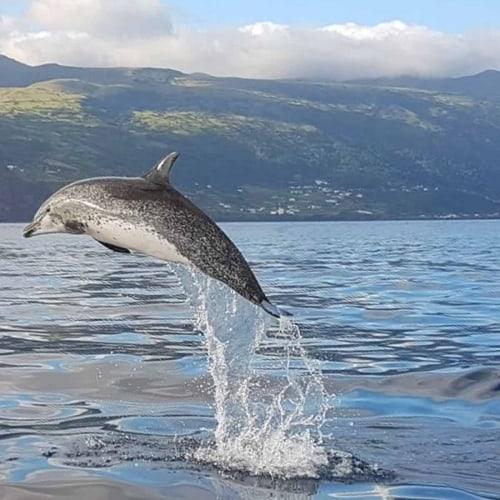 Wilder Delfin auf den Azoren