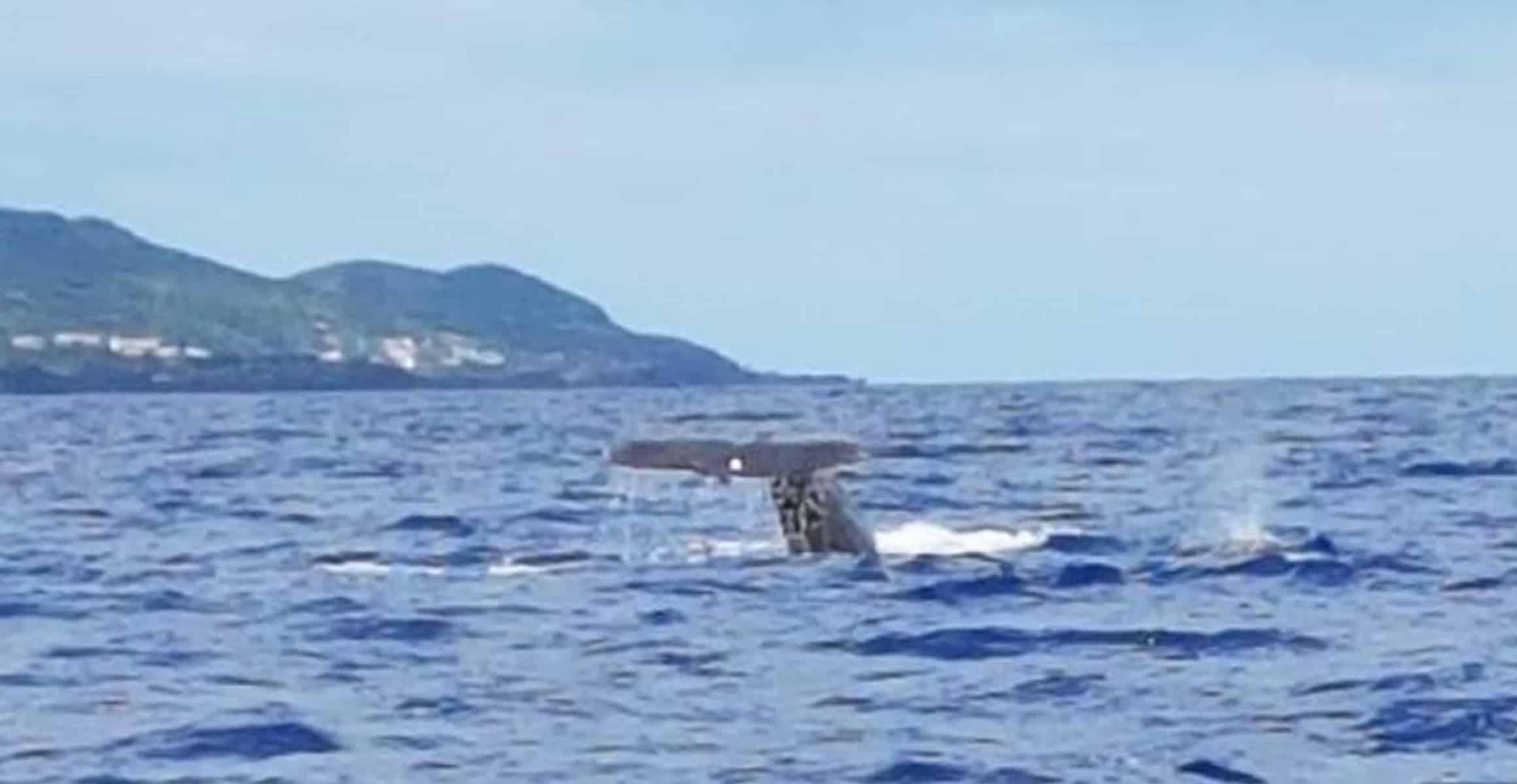 Walflosse im Meer vor den Azoren beim Whale Watching im Hintergrund ist die Insel Pico zu sehen